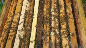 Nahaufnahme Stadtparkbienen